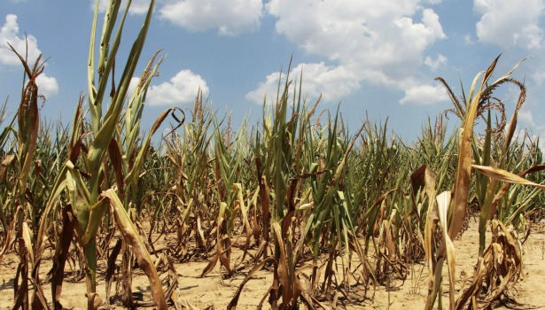 615 corn drought.jpg