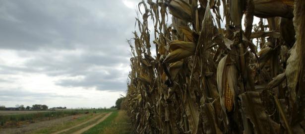 615 corn fields1.jpg