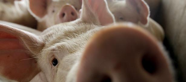 615 pig snout1.jpg