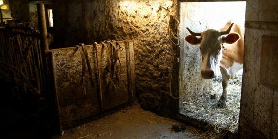 800 cow window.jpg