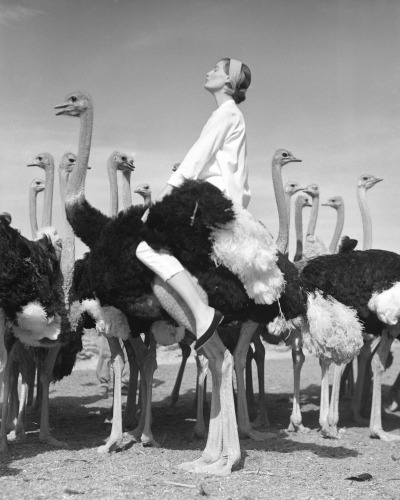 NormanParkinson_pg092  wenda ostriches_vertical.jpg