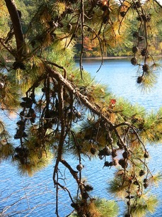 autumn tints pine branch 615.jpg