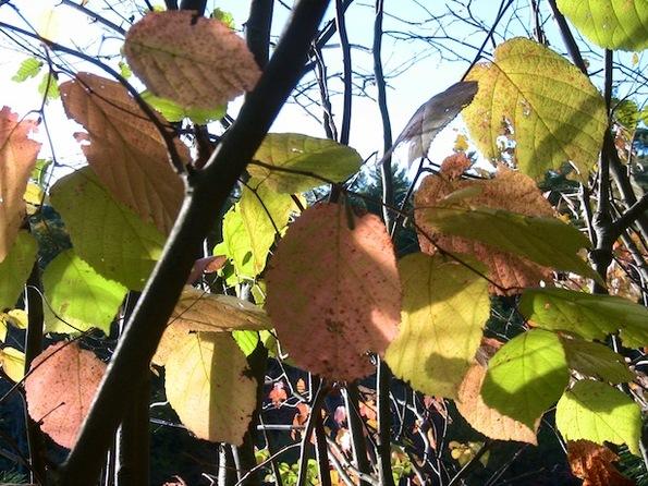 autumn tints pink yellow 615.jpg