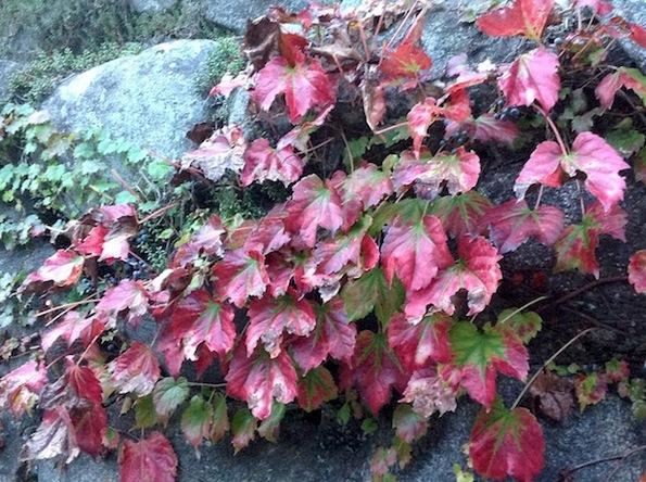 autumn tints red ivy.jpg