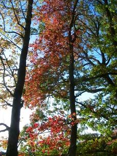 autumn tints red maple 615.jpg