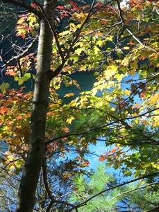 autumn tints yellow elm 615.jpg