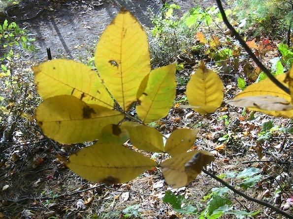 autumn tints yellow leaves 615.jpg