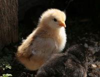 777px-Chick05.jpg