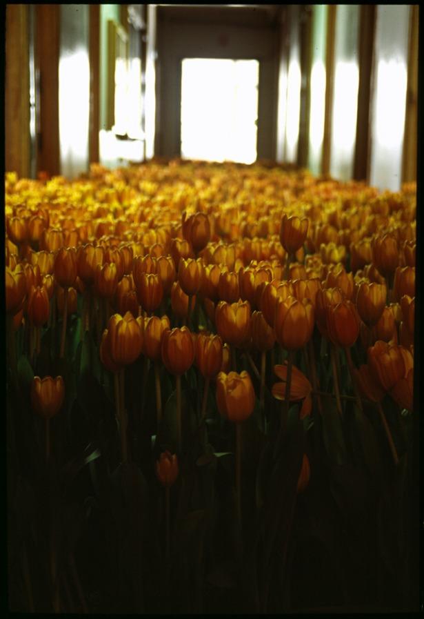 BLOOM-by-Anna-Schuleit-orange-Tulips.jpg