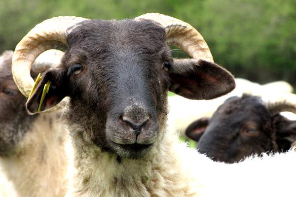 SS3 schmitt may24 sheepface.JPG