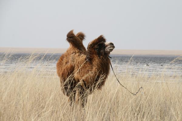 SS6 parks may21 camel.jpg