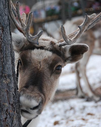 SS8 parks may21 reindeer.jpg