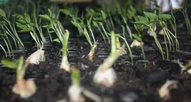 Seedlings615.jpg