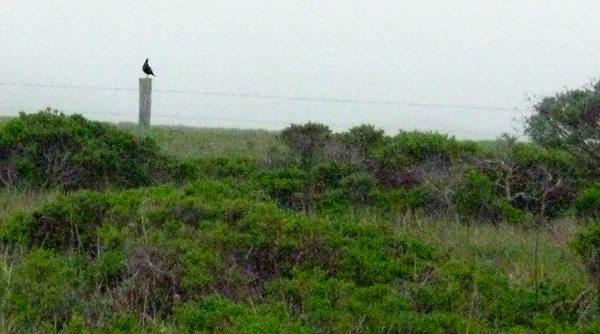 quail on fence lg.jpg