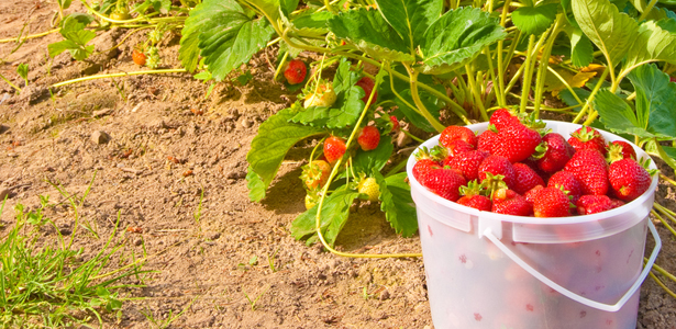 StrawberrySSCal-Post.jpg
