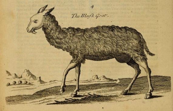 goat570.jpg