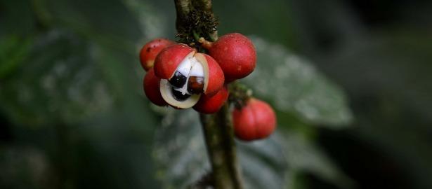 guarana berry 270.jpg.jpg