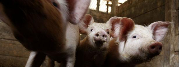 pigs main2.jpg