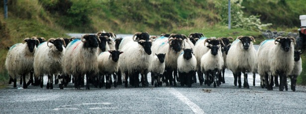 sheepmain.jpg
