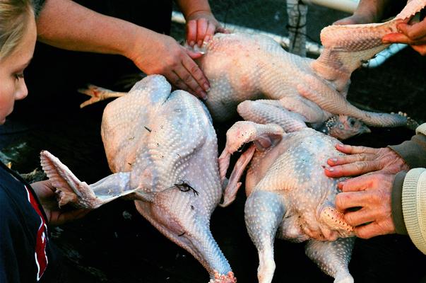 turkeys10.jpg