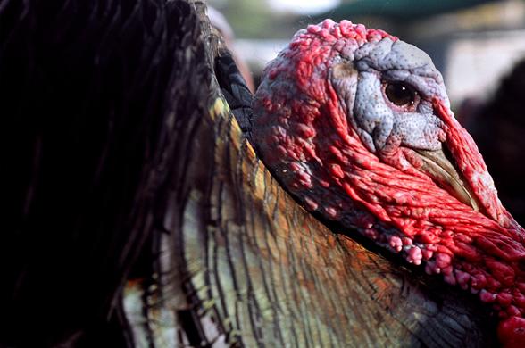 turkeys12.jpg