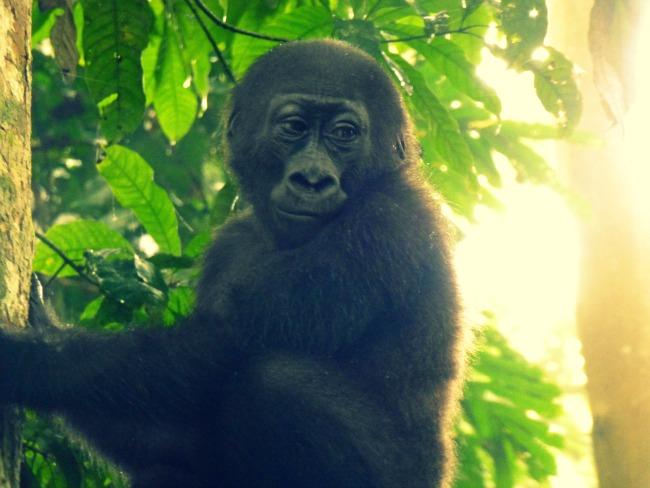 Gorilla5CHANGED.jpg
