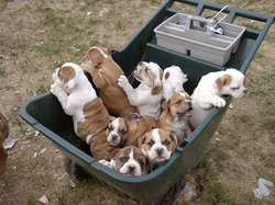 Thumbnail image for Bulldogs.jpg