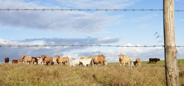 cows2-top.jpg