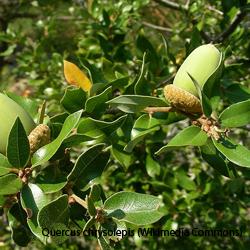 goldcup oak.png