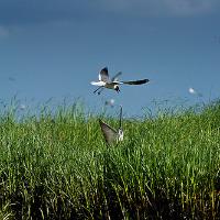 TED pelicans.jpg