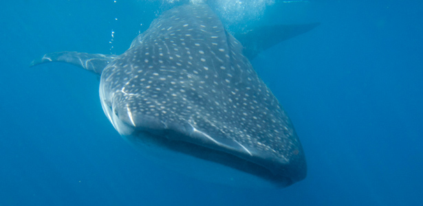 WhaleShark-Reuters-Post.jpg