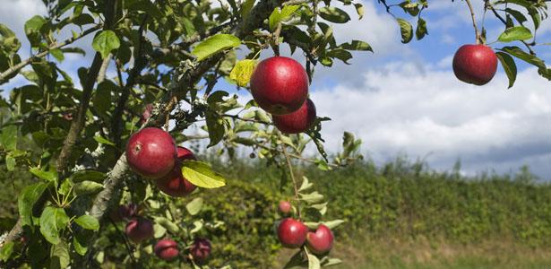apples-body.jpg
