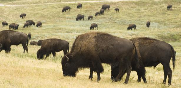 bison-body.jpg