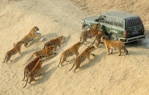 tigerfeeding_1200.jpg