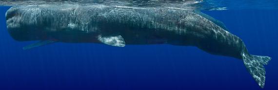 03843_Beautiful Whale_Sperm_21 - Sperm Whale Composite Two.jpg