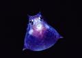 Translucentcowfishnewbert1145302sw