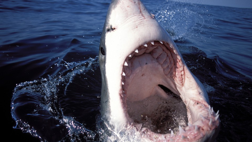 A shark with its mouth wide open