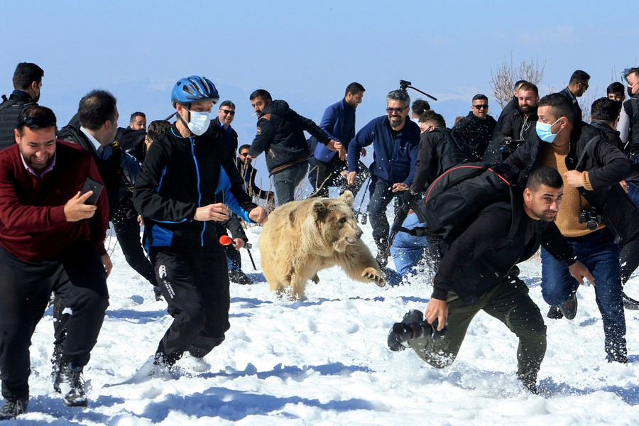 Two dozen men run in snow as a large bear moves among them.