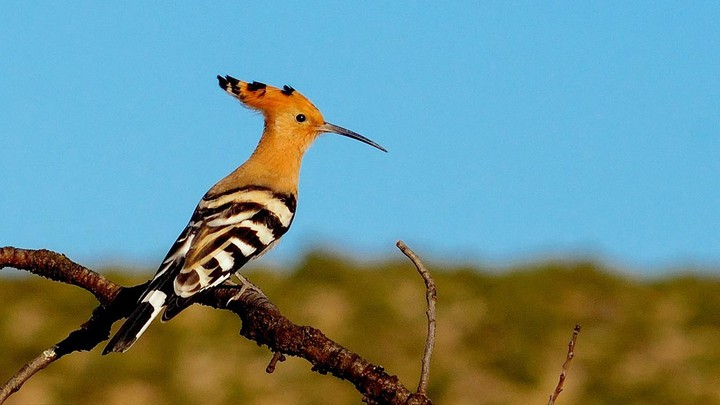 a hoopoe bird perched on a branch