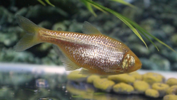 A blind cave fish