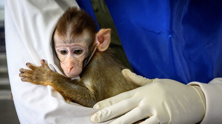 A monkey in a research lab