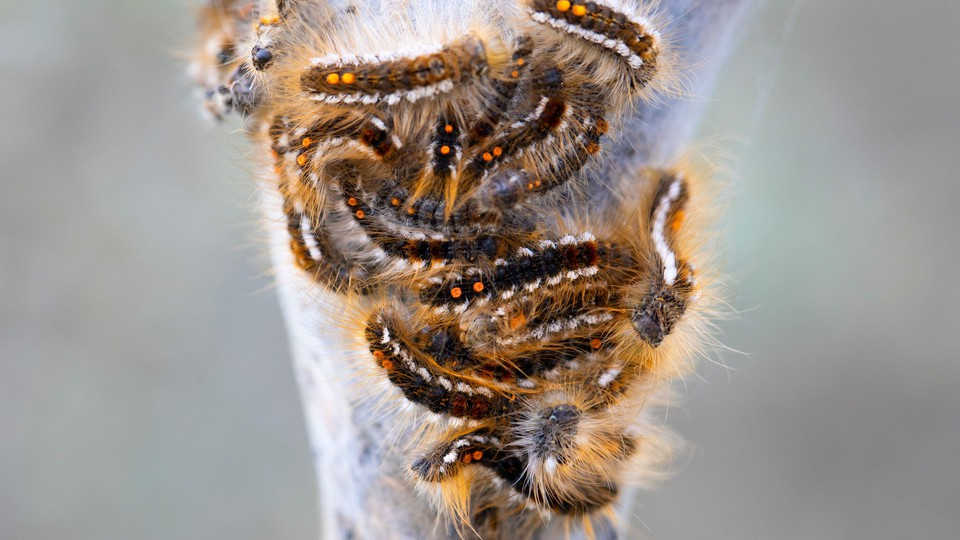 A bunch of fuzzy browntail moth caterpillars with distinctive orange spots