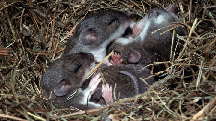 Four mice sleeping in a nest
