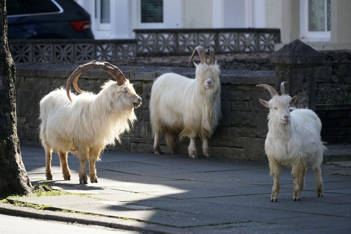 Mountain Goats Roam Through an Empty Welsh Town (14 photos)
