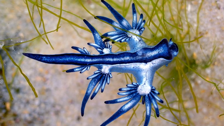 Blue sea dragons are part of the neuston