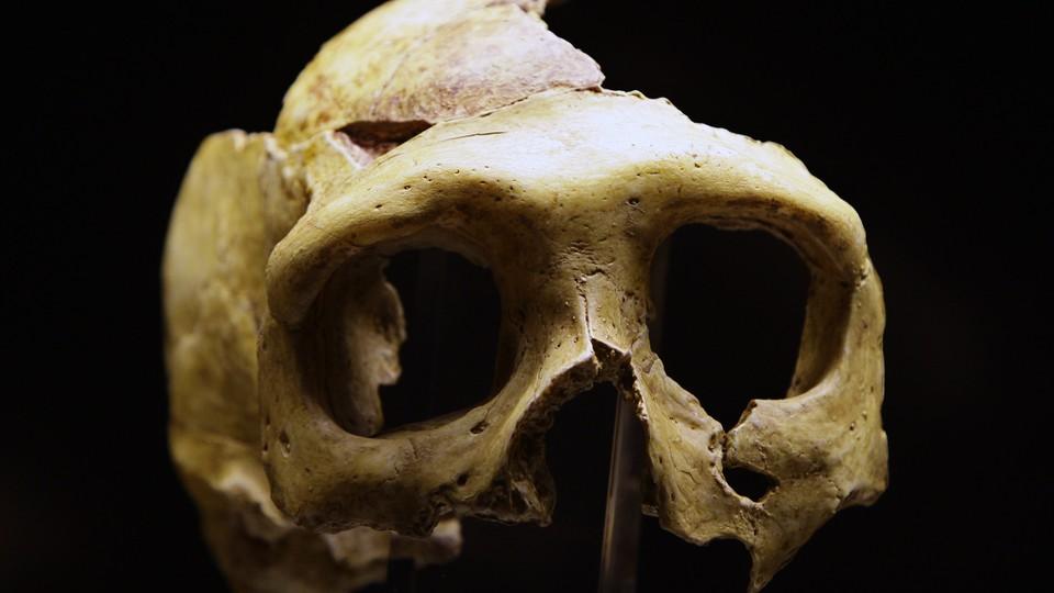 A Neanderthal skull on display at Krapina, Croatia.