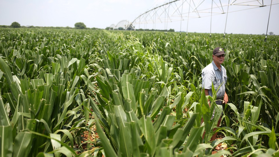 A farmer inspects his crop in Limpopo, South Africa.