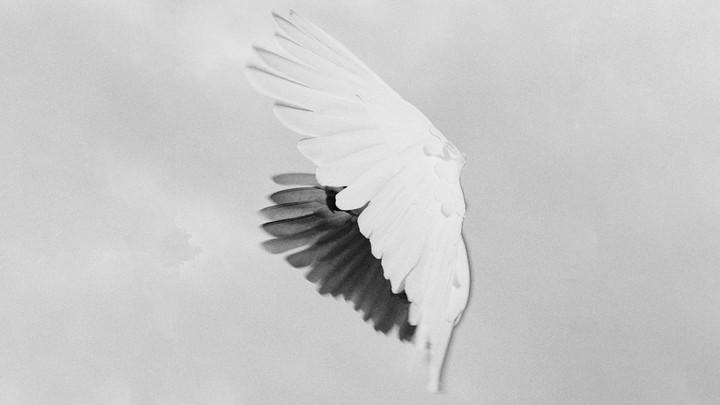 Dove's wings