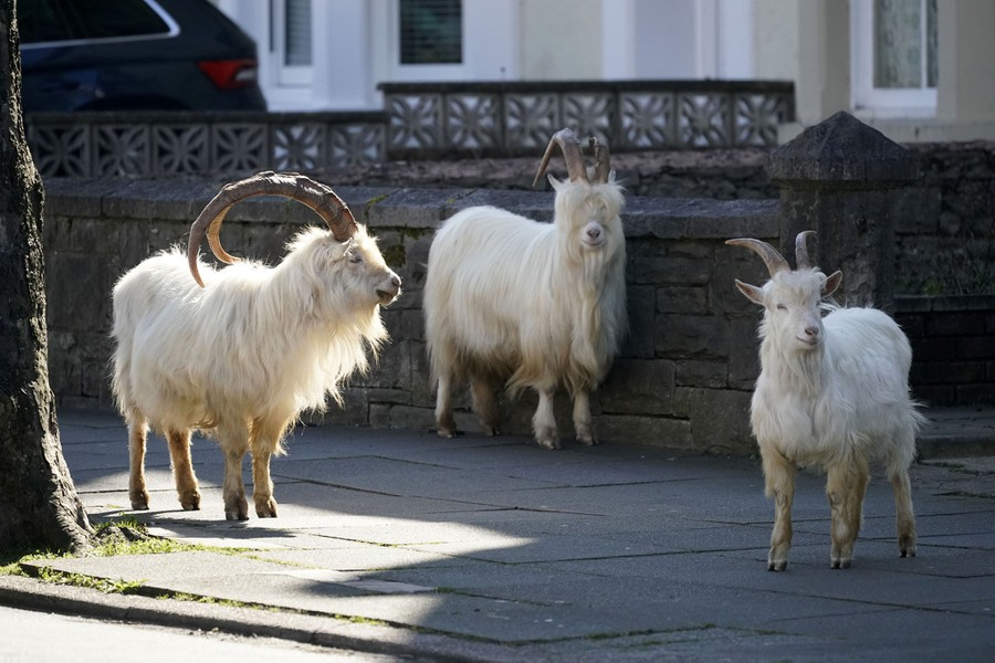 Photos: Wild Goats Roam Through an Empty Welsh Town - The Atlantic