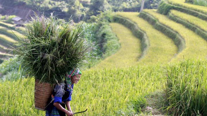 A Hmong woman carries long grass in a basket on her back in Vietnam.